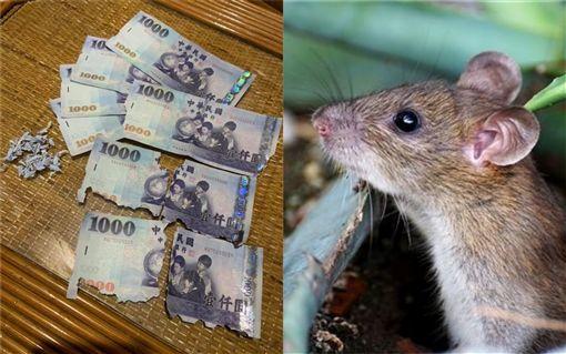 老鼠,台幣,毀損,中央銀行,(圖/爆廢公社)