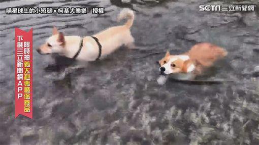 ▲柯基犬樂樂和米克斯Mumu一起游泳。(圖/喵星球上的小短腿x柯基犬樂樂  授權)