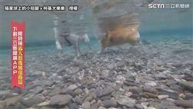 ▲長腿Mumu在水中走得很穩,短腿樂樂划得很拼命。(圖/喵星球上的小短腿x柯基犬樂樂  授權)