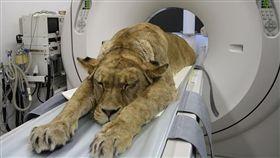 大毛孩健檢!獅子「趴得像小孩」 網笑:工讀生快出來!
