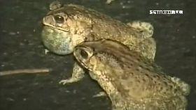 蛞蝓蛙怎吃1200