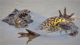 美國,蟒蛇,鱷魚,凱門鱷,動物(圖/翻攝自鏡報)