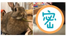 主人把牠當枕頭!「萌兔」不敢動…醒來驚見一坨「扁麻糬」,兔子,翻攝自推特