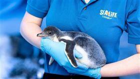 倫敦水族館2雌企鵝當雙親!扶養首隻性別中性寶寶。 (圖/翻攝自SEA LIFE London Aquarium臉書)