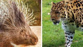 花豹大戰豪豬!伸嘴露牙瘋狂嘶咬…結局超出人意料(合成圖/翻攝自Pixabay) https://pixabay.com/photos/nature-animal-porcupine-mammal-3588682/ https://pixabay.com/photos/amur-leopard-leopard-nature-amur-4112011/