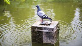 鴿子 示意圖 圖取自Pixabay