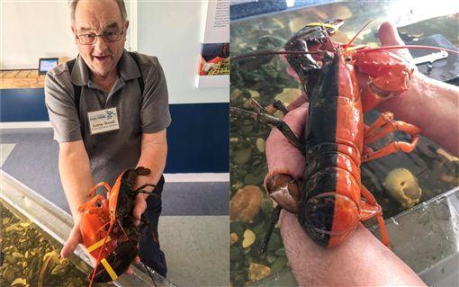 龍蝦,基因突變,美國,緬因州(圖/翻攝自臉書)