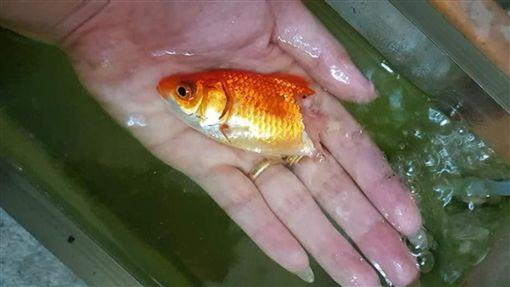 魚,金魚,治療,泰國,換水,腐爛,奇蹟,感染,照顧,飼主,魚尾,寵物, 圖/翻攝自臉書