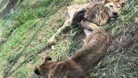 高齡獅子無法表演!「沒用了」被關半年…慘瘦成皮包骨(圖/翻攝自微博)