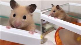 倉鼠想越獄被抓包。(圖/翻攝自Twitter用戶「ryu_chan1226」)
