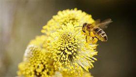 巴西,蜜蜂,死亡,殺蟲劑,食物戰爭(PIXABAY)
