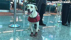 緝毒犬,航警,機場,桃園,翻攝畫面