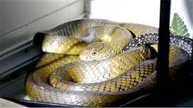 泰國,眼鏡王蛇,鼠蛇。(圖/翻攝自泰國世界日報)
