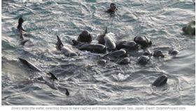 ▲(圖/翻攝自The Dolphin Project) https://www.dolphinproject.com/blog/pilot-whales-slaughtered-drafted-into-captivity/