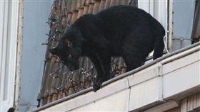 黑豹,猛獸,法國,屋頂,小鎮,飼養 圖/翻攝推特
