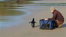 企鵝,峽灣企鵝,澳洲,紐西蘭,澳洲,墨爾本,游泳,累癱,覓食,食物,動物, 圖/翻攝自Phillip Island Nature Parks臉書