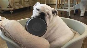 鬥牛犬,鐵碗,狗狗(圖/翻攝自bulldog_dad IG)