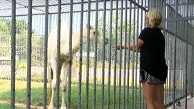 美國,路易安那州,駱駝,蛋蛋(圖/翻攝自YouTube)