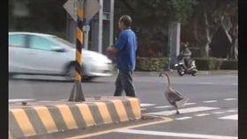 停紅燈驚見阿伯帶「鵝子」過馬路!網全笑瘋:跟晚餐散步?(圖/翻攝自爆廢公社)