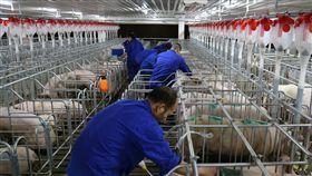 非洲豬瘟重創養豬業  中國推新規保供穩價非洲豬瘟重創養豬業並導致豬肉價格暴漲,中國國務院辦公廳3日發布意見,提出多項措施要求「保供穩價」,切實提高生豬產能。圖為廣西橫縣的養豬場。(中新社資料照片)中央社  108年7月4日