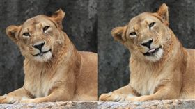 日本,動物園,母獅,微笑。(圖/翻攝自推特)