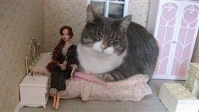 (16:9)貓咪,娃娃屋,入侵,巨大,推特(圖/翻攝自@tammy_morinaga推特)