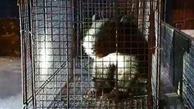 獨/抓到你了…台灣黑熊「偷吃雞」!利稻村民「逮捕」搶拍