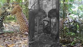 ▲▼「Untamed Photography」遠赴亞馬遜叢林,對動物們看見鏡中自己的反應進行拍攝。(圖/AP/Caters TV 授權)