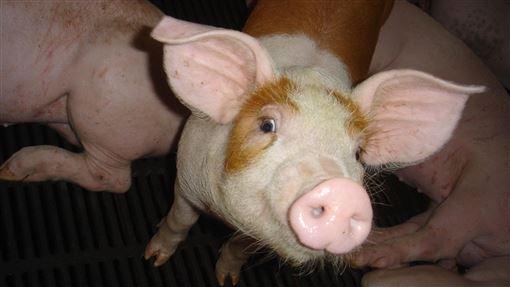 非洲豬瘟、豬肉/中央社