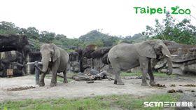 非洲象(木柵動物園)