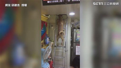 ▲網友驚呼第一次看見狗狗爬這種梯子。(圖/網友 邱謝吉  授權)