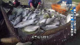 (透視)嘉義鱸魚跌1900