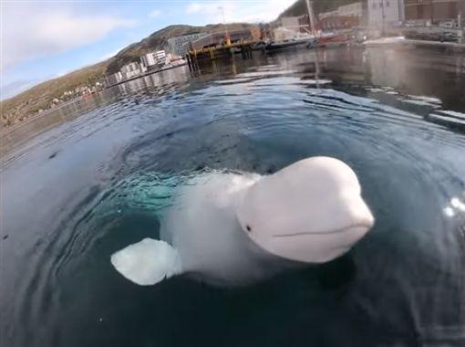 調皮小白鯨 撞落GoPro(圖/翻攝自ShibbyTraveler YouTube、Jan-Olaf Johansen臉書)