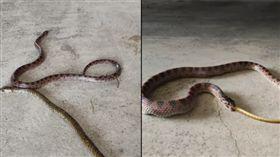 蛇,蛇吃蛇,家,爆廢公社,驚悚,動物 https://www.facebook.com/groups/644810635665586/?ref=bookmarks