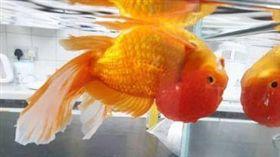 (上下顛倒游?獅頭魚頭罩太大 獸醫進行「理髮」手術助翻身) 英國,寵物,金魚,理髮 (圖/翻攝自Origin Vets 臉書)