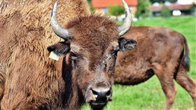 美洲野牛。(圖/翻攝自Pixabay)