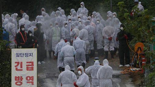南韓京畿道坡州市2日一家養豬農場出現非洲豬瘟第10例確診病例,預計將有11萬多頭生豬被撲殺。(韓聯社提供)