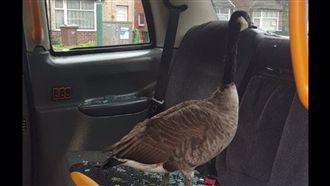 我的乘客是隻鵝!交通警察現場傻爆眼