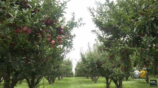 美國一處果園5萬顆蘋果離奇消失(圖/翻攝自Brooke O'Daniel WSBT推特、CBS Chicago YouTube)