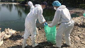 高雄鴨場檢出H5N5禽流感  全數撲殺(1)高雄市旗山區一處鴨場確診感染H5N5高病原性禽流感,高雄市農業局16日指出,日前確診後已全數撲殺完畢,也對周邊進行消毒。(高市府提供)中央社記者王淑芬傳真  108年9月16日