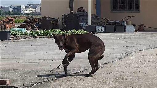 流浪犬遭捕獸夾夾住(1)高雄興達港附近民眾通報經常於深夜傳出鐵鍊聲,經台灣動物緊急救援小組追查,原來是一隻黑色流浪犬遭捕獸夾夾住傳出的拖地鐵鍊聲,5日帶回市區動物醫院急救。(台灣動物緊急救援小組提供)中央社記者陳朝福傳真  108年10月5日