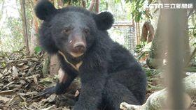 利稻黑熊,台東林管處提供