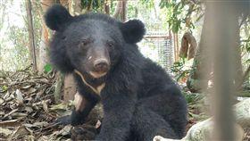利稻黑熊不滿一歲 還不能野放台東縣海端鄉利稻部落9月27日晚間被誘捕的台灣黑熊,由台東林管處安置,健康狀況正常,是一隻小公熊,年齡約在半歲至一歲間。綜合各方意見後,決議先短期照養,現階段不立即野放。(台東林管處提供)中央社記者李先鳳傳真 108年10月6日
