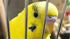 鸚鵡之所以能夠模仿人類的聲音,是因為牠們也有類似「聲帶」的構造,而牠們的學習能力很強,所以可以學人說話!日本網友在推特上發布了一則影片,只見影片中的長尾小鸚鵡在家閒晃時,發現了主人在家裡安置的鏡頭鏡頭,沒想到這隻鸚鵡竟然開始對鏡頭唱起歌,有一段畫面甚至被網友說很像在唱「Rap」!(圖/翻攝自okakaricho Twitter)