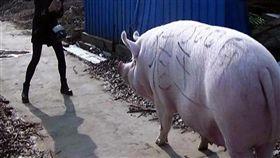 (圖/翻攝自微博)中國,非洲豬瘟,巨豬