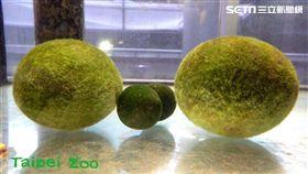 毬藻(木柵動物園提供)