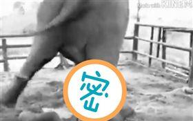 寶寶何辜…母象「難產3天」發怒 分娩後狂踢小象洩憤(圖/翻攝自YouTube)