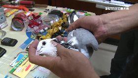 擄鴿交肉票1200