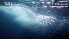 布氏鯨大嘴一張結束這場進食秀。(圖/國家地理頻道授權)