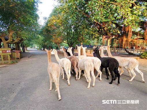 埔心牧場超萌羊駝 雙十國慶首發亮相